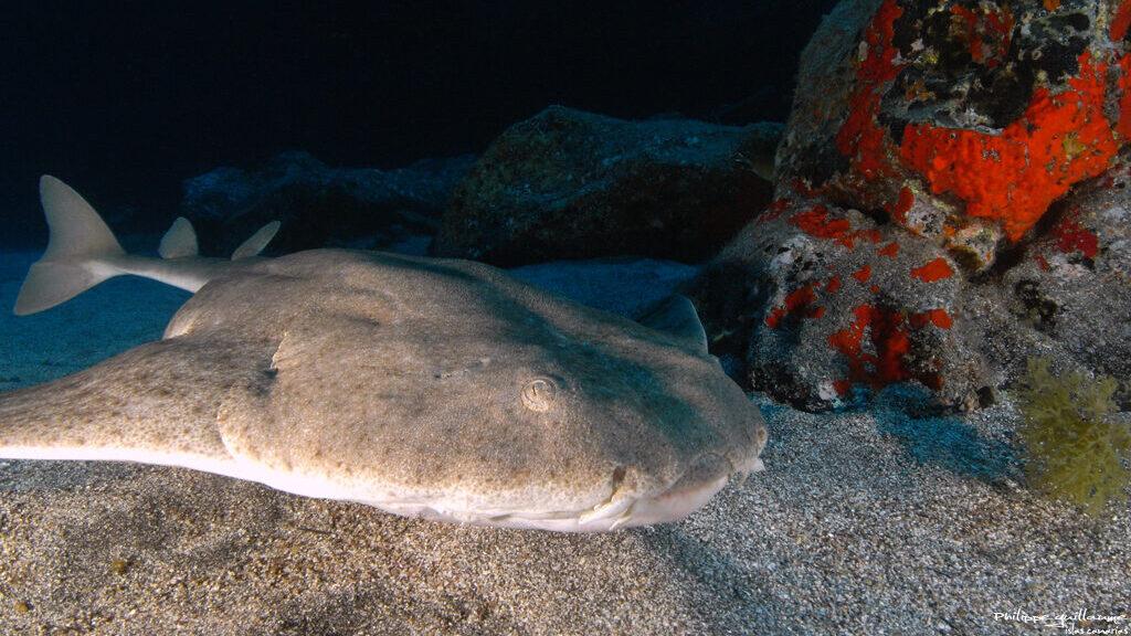 """El """"Angelote"""", un tiburón único en los fondos marinos de Lanzarote"""